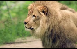 THE LION KING Visits the Bronx Zoo: Lion Exhibit...